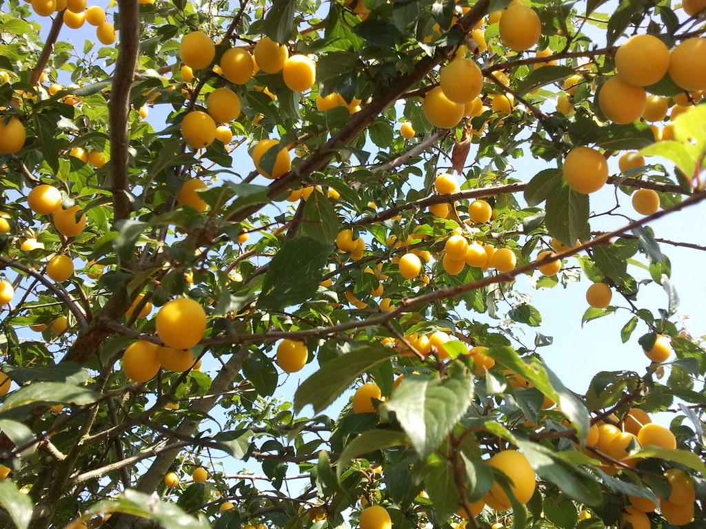 prune jaune 100 gr