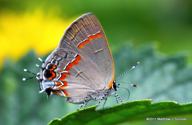 Red Banded Hairstreak (Explored)