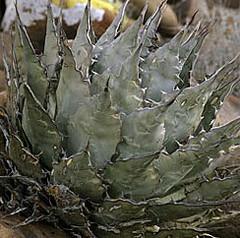 A132 Agave vizcainoensis