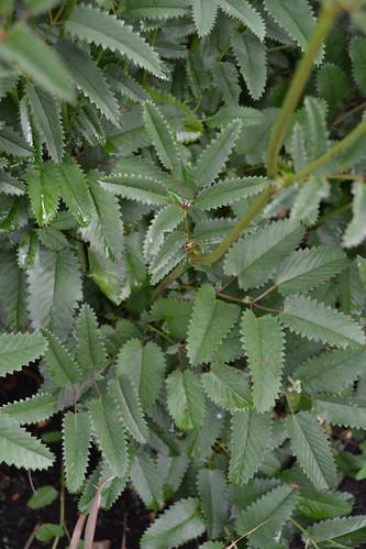 SANGUISORBA officinalis dark form