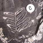 40C: large specimen is Alethopteris (seed fern), smaller fragments are Neuropteris (seed fern)  [Pennsylvanian, 300 mya, upper Carboniferous]
