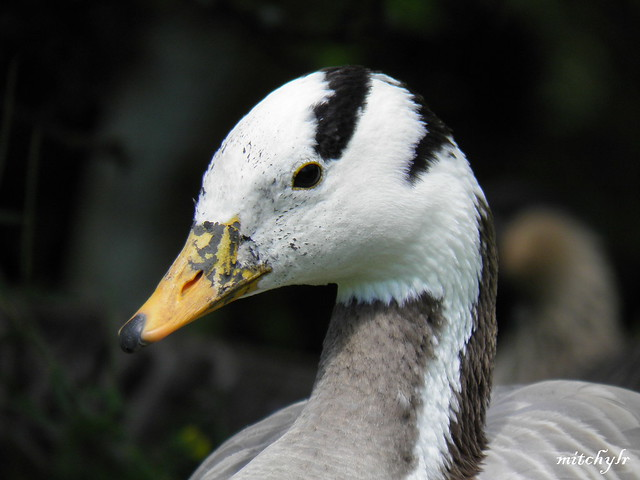 Bar-Headed Goose 2