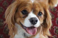 cavachon(0.0), tibetan spaniel(0.0), phalã¨ne(0.0), dog breed(1.0), animal(1.0), kooikerhondje(1.0), dog(1.0), pet(1.0), king charles spaniel(1.0), spaniel(1.0), close-up(1.0), cavalier king charles spaniel(1.0), carnivoran(1.0),