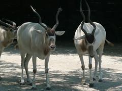 gemsbok(0.0), springbok(0.0), goats(0.0), pack animal(0.0), cattle-like mammal(1.0), animal(1.0), antelope(1.0), zoo(1.0), mammal(1.0), horn(1.0), herd(1.0), fauna(1.0), oryx(1.0), wildlife(1.0),