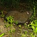 Mountain Beaver - Photo (c) randomtruth, some rights reserved (CC BY-NC-SA)