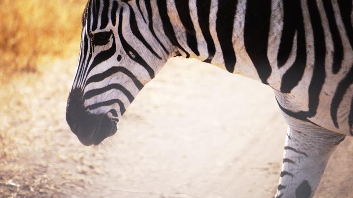 Plain Zebra @ Ngorogoro