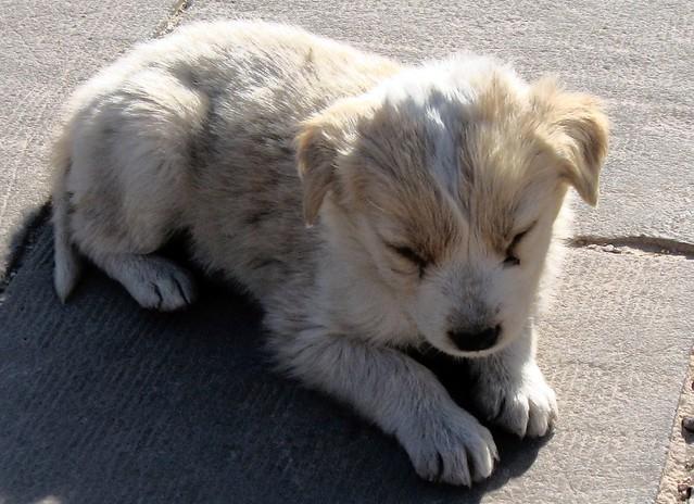 Egyptian puppy