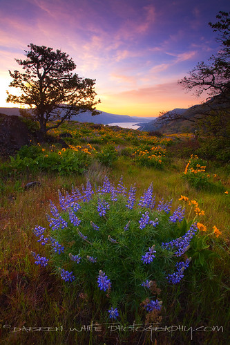 nature clouds oregon sunrise canon spring scenic pacificnorthwest wildflowers blooms lupine springtime columbiarivergorge balsamroot 1740l oregonscenery darrenwhite oregonwildflowers darrenwhitephotography oregonsunrises 5dmkii pacificnorthwestlandscapes landscapesofthenorthwest