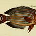 M.E. Blochii ... Systema ichthyologiae iconibus CX illustratum v.2