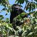 Mantled Howler Monkey - Photo (c) Maris Pukitis, some rights reserved (CC BY-NC-SA)