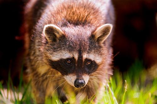 Walking raccoon