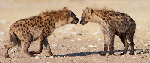 spotted hyenas take time to chat