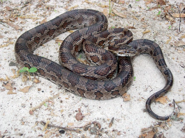Texas Corn Snake Texas Corn Snake From East Texas By