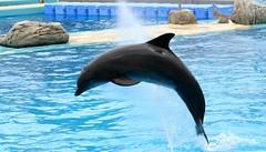 animal, marine mammal, common bottlenose dolphin, marine biology, fauna, dolphin, spinner dolphin, tucuxi,
