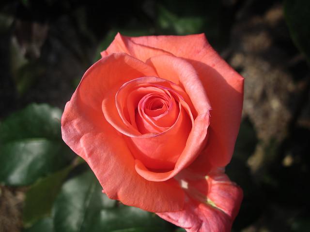 Photo:Rose Harmonie バラ ハーモニー By T.Kiya