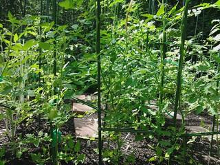 THIS year's veggie garden