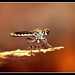 Robber fly(Asilidae)