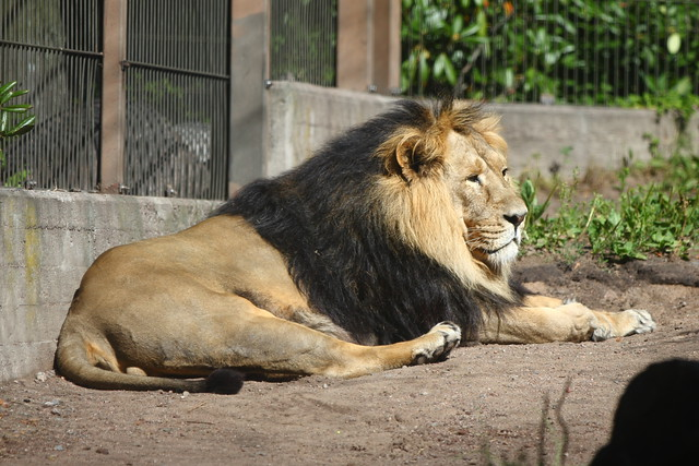 Panthera leo persica - photo#28