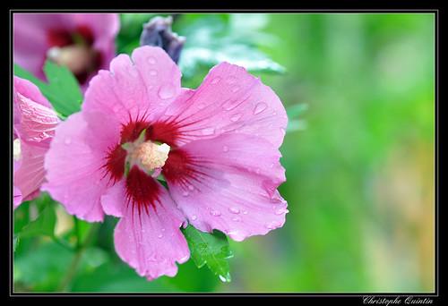 Althéa (Hibiscus syriacus)