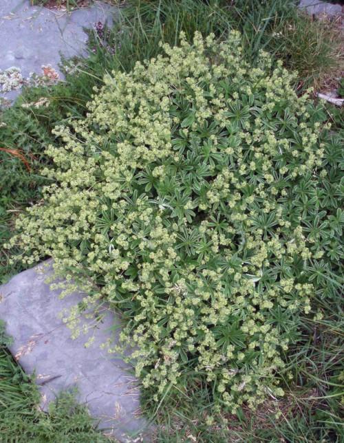 Alchemilla alpina 5962705967_d17bd81146_o