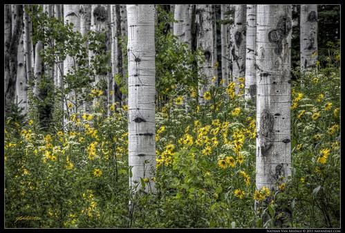 flowers summer forest photoshop landscape spring colorado wildflowers aspen hdr highdynamicrange crestedbutte photomatixpro aspenforest cs5 cr15 canon40d castlecreekroad navandale nathanvanarsdale nvaphoto