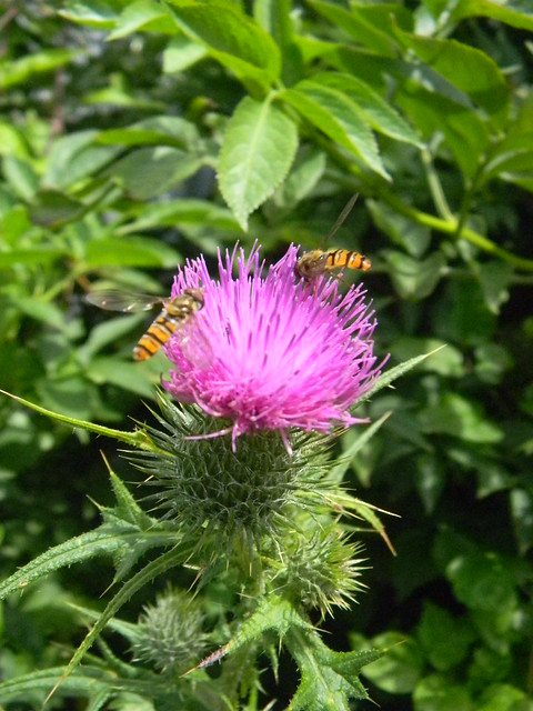 Hoverflies on thistle