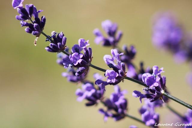 Photo de fleurs de lavande en gros plan flickr photo for Fleurs en gros