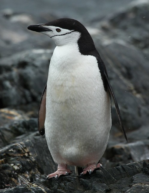 Chinstrap Penguin at Point Wild, Elephant Island