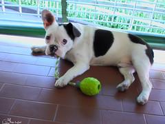 dog breed, animal, dog, old english bulldog, pet, olde english bulldogge, mammal, toy bulldog, french bulldog, american bulldog, boston terrier, bulldog,
