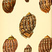 Conchologia iconica, or, Illustrations of the shells of molluscous animals. v.1