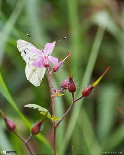 flower macro butterfly insect geranium wildflower greenveinedwhite pieris geraniumrobertianum herbrobert pierisnapi