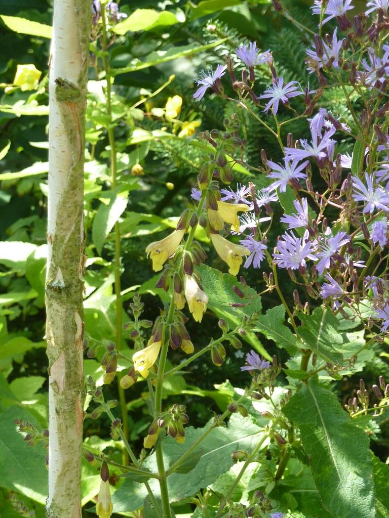 Salvia omeiana Crug Thundercloud & Cicerbita plumieri