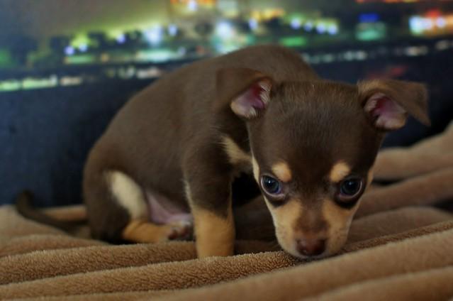 Cute Chihuahua Puppy Very Sad
