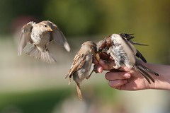 Moineaux - Sparrows