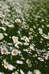 Marguerites field