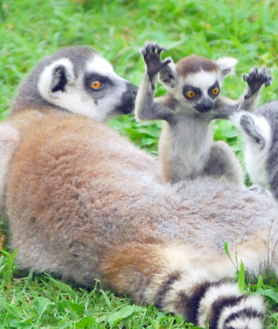 Download image Funny Ring Tailed Lemurs Meme PC, Android, iPhone and ...