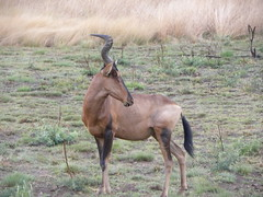 animal, prairie, antelope, mammal, hartebeest, grazing, fauna, pasture, grassland, wildlife,