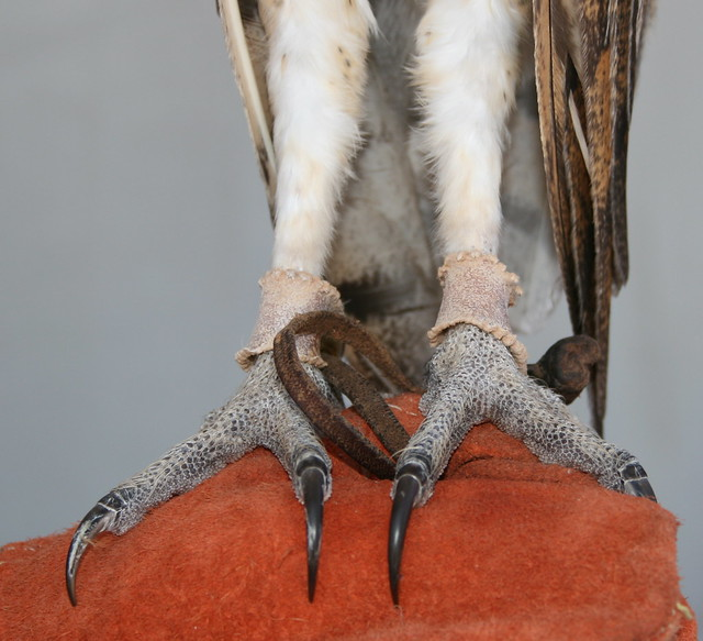 Barn Owl Talons - a photo on Flickriver