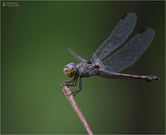 Dragonfly & Damselfly