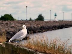 Seagull Stare Down