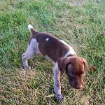 Купирование ушей и хвостов у собак