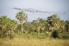 Grazin in Paraguay Aug 2011