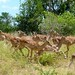 Small photo of Female Impalas (Aepyceros melampus)