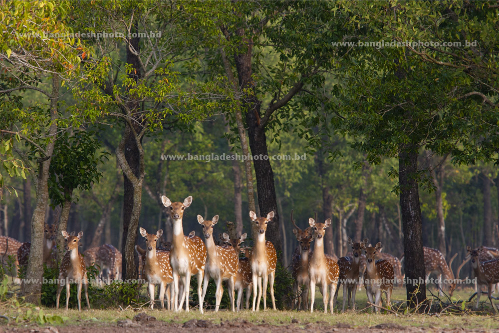 Spotted Deer1