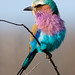 Lilac-breasted Roller by JMK/Photography