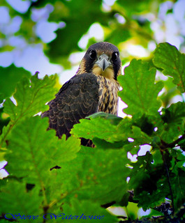 Just fledged Juvenile Male Peregrine Falcon