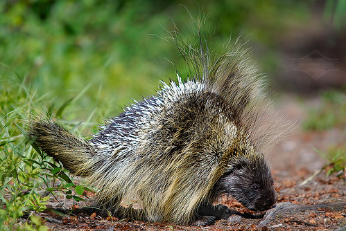 Porky the Porcupine
