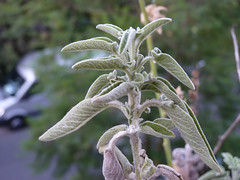 shrub(0.0), flower(0.0), rosemary(0.0), frost(0.0), plant(1.0), flora(1.0), common sage(1.0),