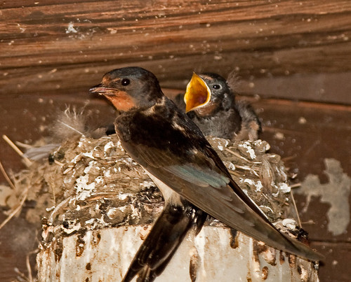 Swallow Time!!   (Swallows)