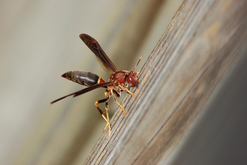 Polistes annularis my favorite of all paper wasps. by billdroadrunner1